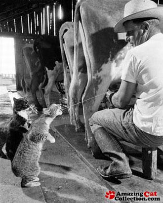 milkcats