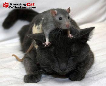 rat-hat